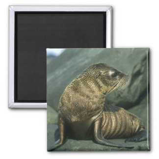 Fur Seal, Arctocephalus galapagoensis), young Square Magnet