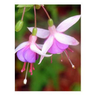 Fuschia Flowers Postcard
