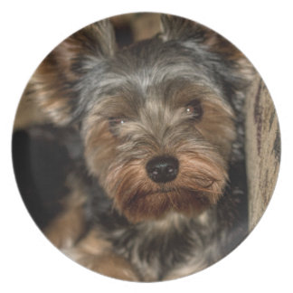 Fuzzy Face Yorkshire Terrier Party Plates