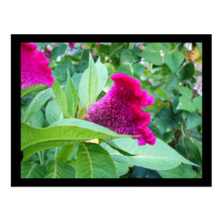 Fuzzy Pink Flower Postcard