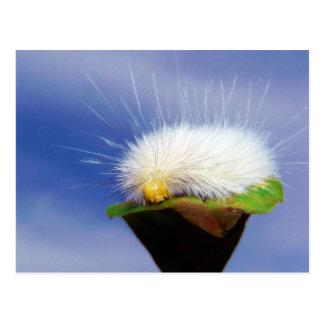 Fuzzy White Caterpillar Postcard