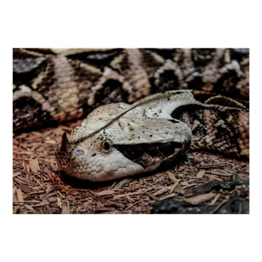 Gaboon Viper Snake Photo Poster