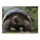 Galapagos Giant Tortoises Geochelone Postcard
