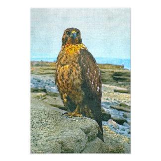 Galapagos hawk photo print