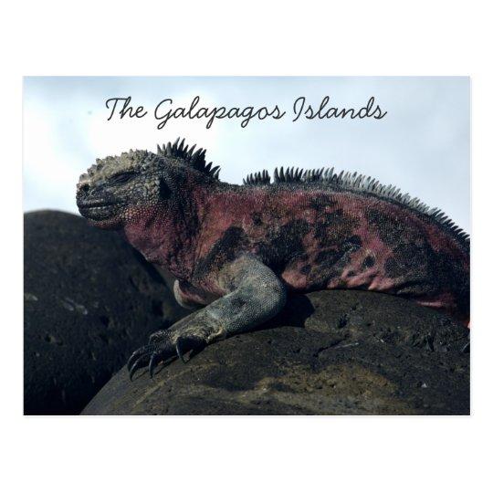 Galapagos Islands Black Iguana Postcard