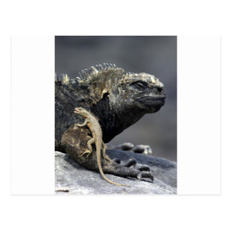 Galapagos marine iguana and lava lizard postcard