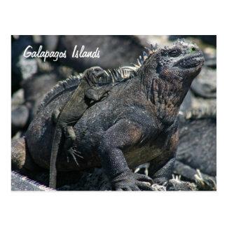 Galapagos Marine Iguana with baby Postcard