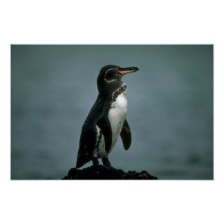 Galapagos' Penguin On Lava Rock Poster