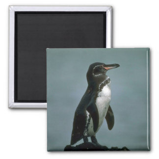 Galapagos' Penguin On Lava Rock Square Magnet