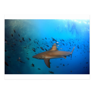 Galapagos reef shark postcard