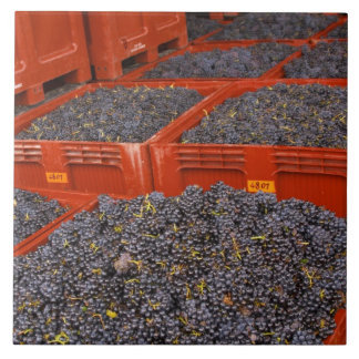 Gamay grapes just in from the harvest at the ceramic tile
