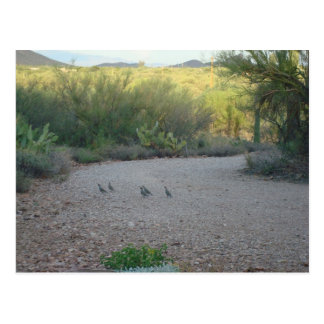 Gamble Quail in the Sonoran Desert Postcard