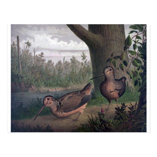 game-birds-woodcocks-painting. postcard