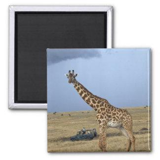 Game drive safari watching Masai Giraffe Square Magnet