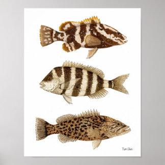 Gamefish- Nassau Grouper,Sheepshead & Gag Grouper Poster