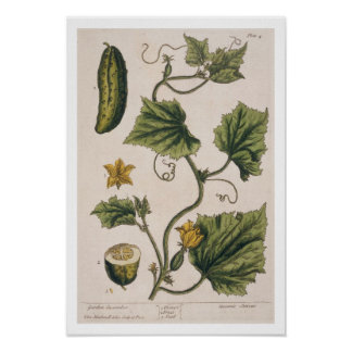 Garden Cucumber, plate 4 from 'A Curious Herbal', Poster
