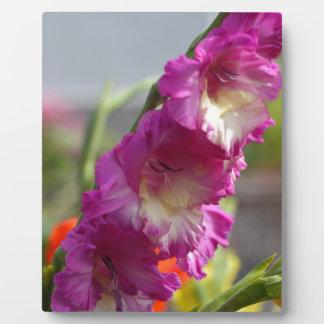Garden gladiolus (Gladiolus x hortulanus) Display Plaque