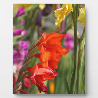 Garden gladiolus (Gladiolus x hortulanus) Plaques
