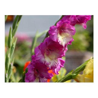 Garden gladiolus (Gladiolus x hortulanus) Postcard