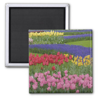 Garden of tulips, Grape Hyacinth and Square Magnet