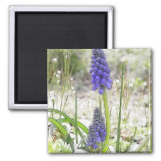 Garden Scene - Grape Hyacinths Square Magnet