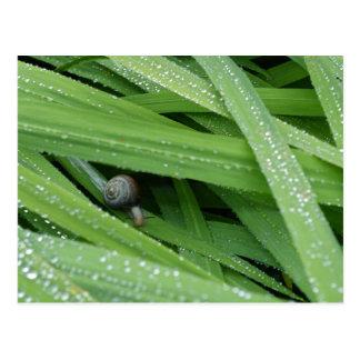 Garden Snail Postcard