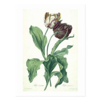 Garden Tulip, from 'Opera Botanica', engraved by L Postcard
