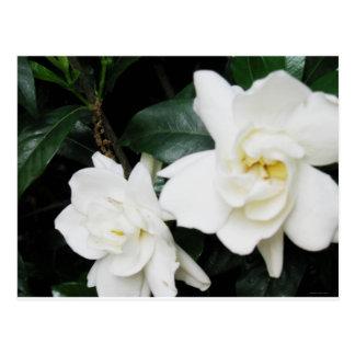 Gardenias Postcard