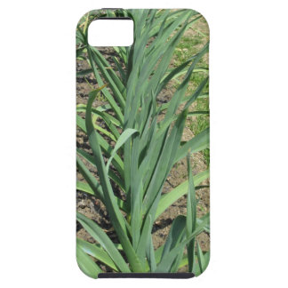 Garlic plants in rows in the garden iPhone 5 cover