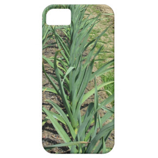 Garlic plants in rows in the garden iPhone 5 covers