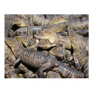 Gator Pile Postcard