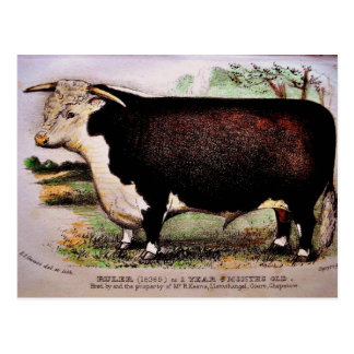 Gauci Hereford Cattle Postcard