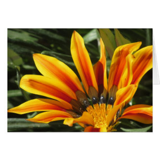 Gazania Bloom Card