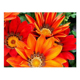 Gazania flowers postcard