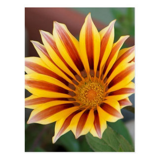 Gazania in Red, Gold and Green Postcard