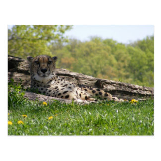 Gaze of the Cat: Cheetah Postcard