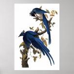 Geai | John James Audubon de Colombie Poster