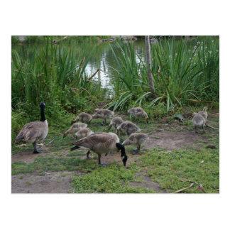 Geese and Goslings Postcard