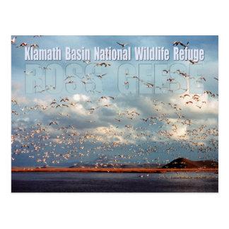 Geese at Klamath Basin National Wildlife Refuge Postcard