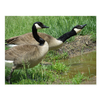 Geese At Puddle Postcard