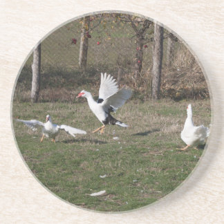 Geese fighting drink coaster