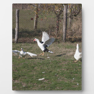 Geese fighting plaque