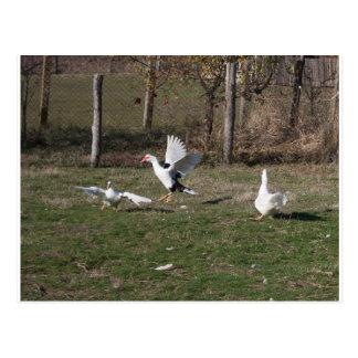 Geese fighting postcard