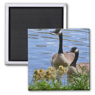 Geese & Gosslings Heading Towards Land Magnet