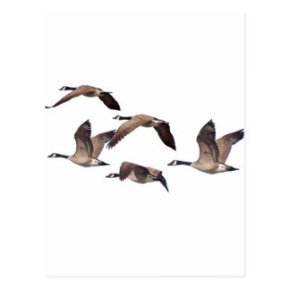 Geese in flight postcard