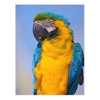 Gelbbrustara macaw on perch postcard