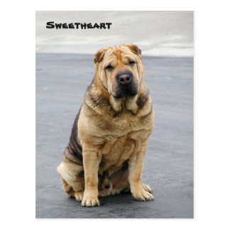 Gentle Shar Pei Post Card