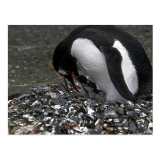 Gentoo Penguin - Adult With Small Chicks In Nest Postcard