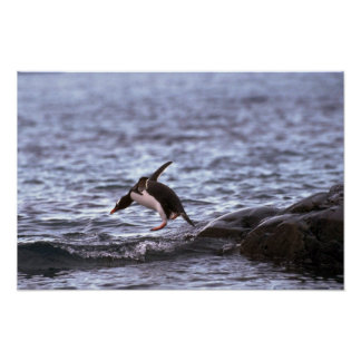Gentoo Penguin Jumping Into Water Poster