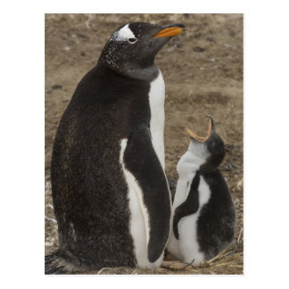 Gentoo Penguin (Pygoscelis papua) and chick Postcard